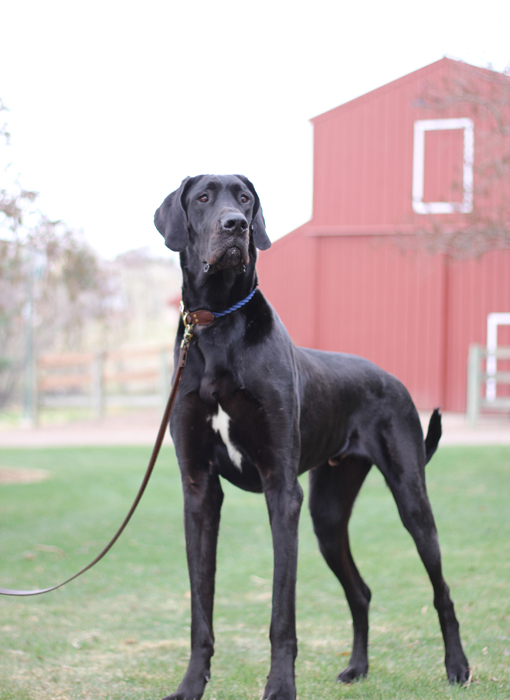 The Great Dane Gentle Giant