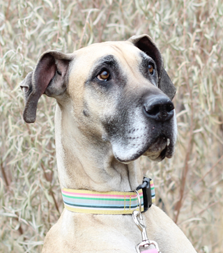 R Great Danes Smart Adopt a Great D...